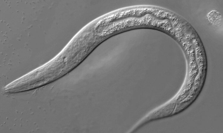Worms Can Identify 15 Types Of Cancer In Humans